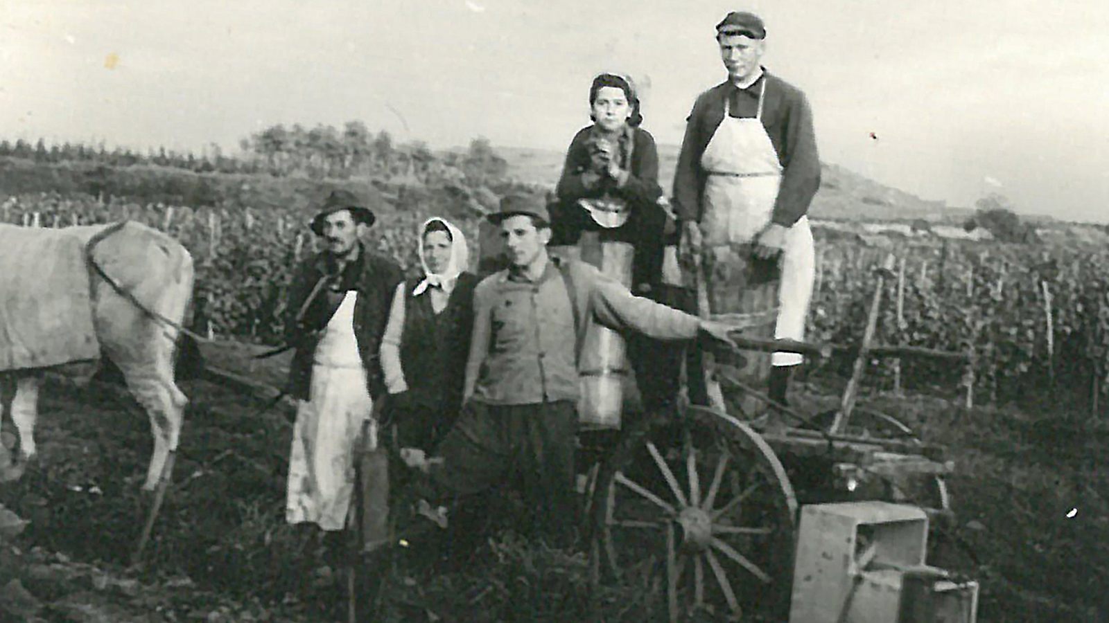 Vater Leopold bei der Weinernte mit Fuhrwerk.